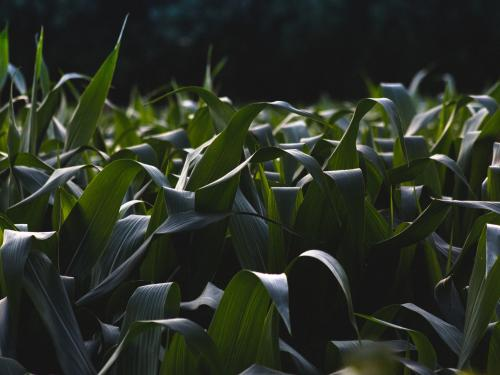 Horizontal photo of a cornfield that is still green.