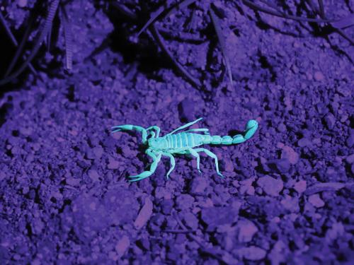 Blue scorpion on purple rocks